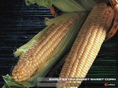 Early Extra Sweet F1 SH2 Sweet Corn