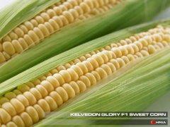 Kelvedon Glory F1 SU Sweet Corn