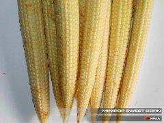 Minipop F1 SU Sweet Corn