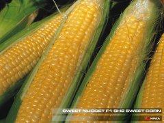 Sweet Nugget F1 SH2 Sweet Corn