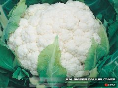 Aalsmeer Cauliflower
