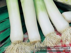 Atlantic Leek