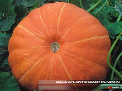 Dills Atlantic Giant Pumpkin