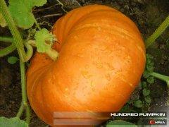 Hundredweight Pumpkin