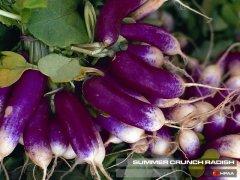 Summer Crunch Radish