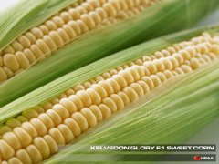 Kelvedon Glory F1 SU Sweet Corn