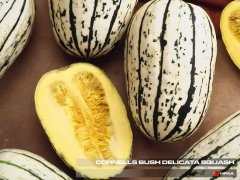 Connells Bush Delicata Winter Squash