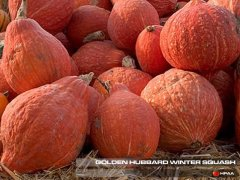 Golden Hubbard Winter Squash