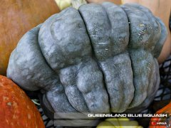 Queensland Blue Squash
