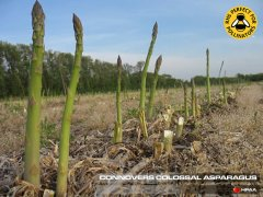 Connovers Colossal Asparagus