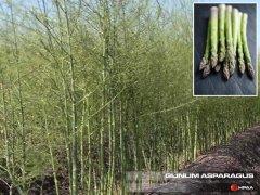 Gijnlim Asparagus
