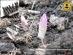 Jacmar Purple Asparagus