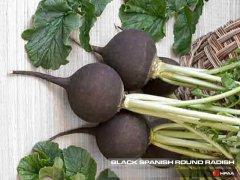 Black Spanish Round Radish