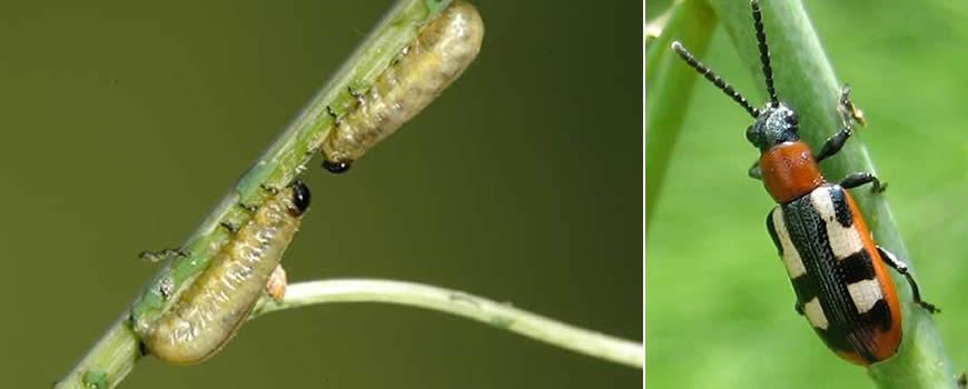 Asparagus Beetle Control: Asparagus