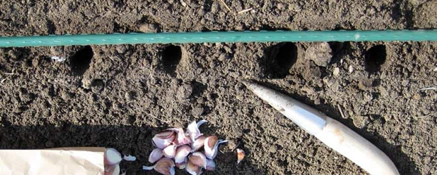 Planting Garlic out