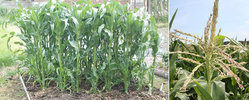 Sweetcorn Growing & Male Flowers (tassels)